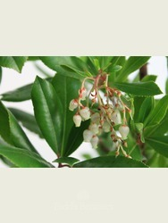 Arbutus unedo - evergreen shrub