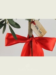 Ilex 'Golden King' AGM - Gift Wrapped