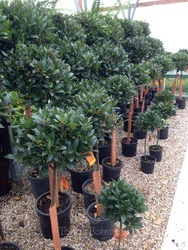 Pair of 1/4 Standard Bay Trees