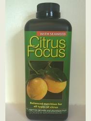 Citrus myrtifolia - Chinotto Orange