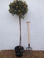 Ilex aquifolium 'Argentea Marginata' AGM