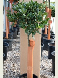 1/2 Standard Bay Tree Laurus nobilis AGM