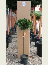 1/4 Standard Bay Tree Laurus nobilis AGM