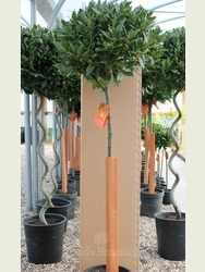 4/4 Standard Bay Tree Laurus nobilis AGM