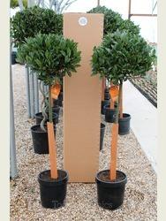 Pair of 3/4 Standard Bay Trees