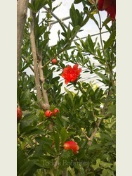 Pomegranate Tree A