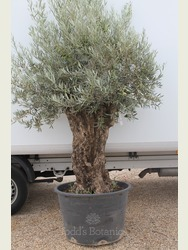 Ancient Olive Tree 1707650C