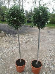 2 x Large Olive Trees 3/4 Standard