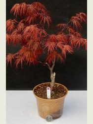 Acer palmatum 'Crimson Queen' AGM