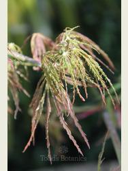 Acer palmatum 'Emma'