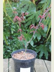 Acer palmatum 'Firecracker'
