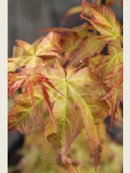 Acer palmatum 'Katsura' AGM
