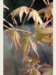 Acer palmatum 'Oridono nishiki'