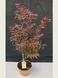 Acer palmatum 'Starfish' 3lt