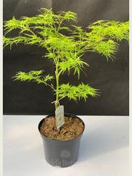 Acer palmatum 'Viridis' 3lt