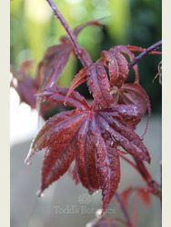 Acer palmatum 'Twombley's Red Sentinel