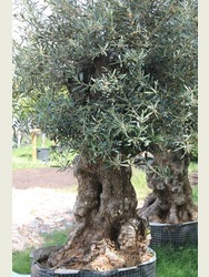 Old Olive Gnarled Trunk 17071295C