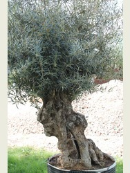 Ancient Olive Tree 1801295J