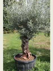 Ancient Olive Tree 1803595B