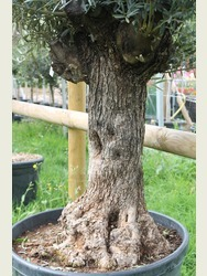 Old Olive Tree 1803650A