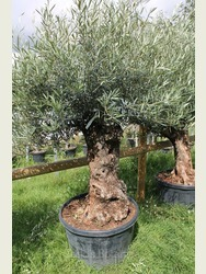 Ancient Olive Tree 1803650B