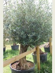 Ancient Olive Tree 1803650C