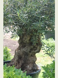 Ancient Olive Tree  1803750A