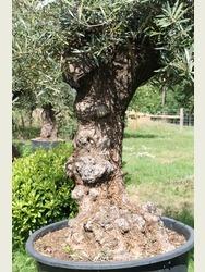 Ancient Olive Tree 1806750C