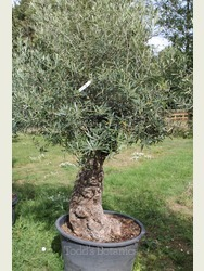 Ancient Olive Tree 1806750E