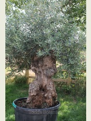 Gnarled Old Olive Tree  1803895A