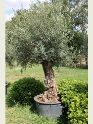 Ancient Olive Tree 1806750B