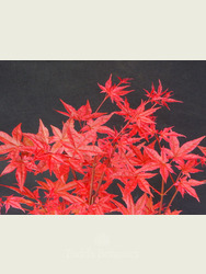 Acer palmatum 'Beni-maiko'  AGM