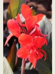 Cannanova Canna 'Bronze Scarlet'