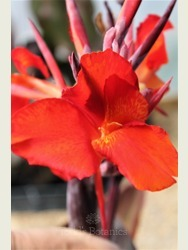 Canna 'Red King Humbert'