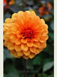 Dahlia 'David Howard' AGM