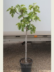 Ficus carica 'Brown Turkey'