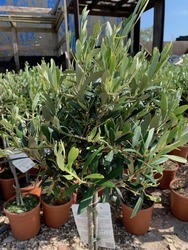 Half standard Olive Tree