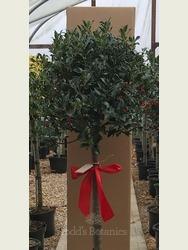 Gift wrapped Holly - Ilex aquifolium 'Alaska'
