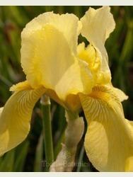 Iris 'Benton Apollo'