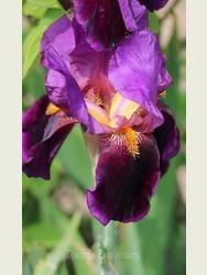 Iris 'Storrington'