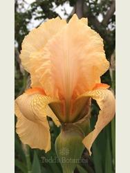 Iris 'Strathmore'