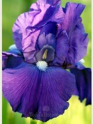 Iris 'Bleu de Mer'