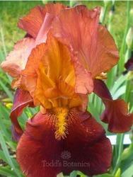 Iris 'Natchez Trace'