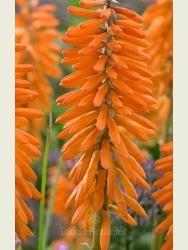Kniphofia Poco Orange