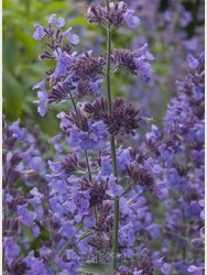 Nepeta racemosa 'Walker's Low' AGM
