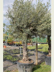 Ancient Olive Tree 1905650A