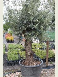 Ancient Olive Tree 1905695B