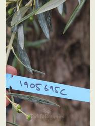 Ancient Olive Tree  1905695C