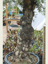 Ancient Olive Tree 1905695D
