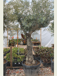 Ancient Olive Tree 1905695E